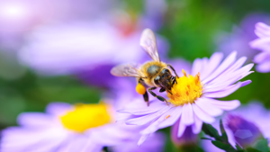 photo of a bee pollinating a flower