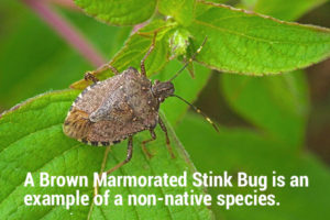 photo of worldwide pest brown marmorated stink bug Halyomorpha halys (adult)