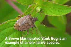 photo of worldwide pest brown marmorated stink bug Halyomorpha halys (adult)
