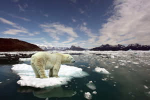 photo of Polar Bear floating on small patch of ice