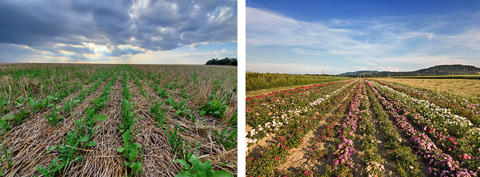 two photos of crops